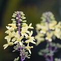 Photos: 葉牡丹の花