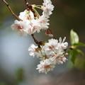 Photos: 子福桜
