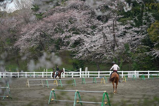 乗馬場の桜