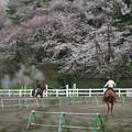 Photos: 乗馬場の桜