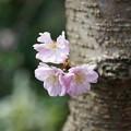Photos: 春月花