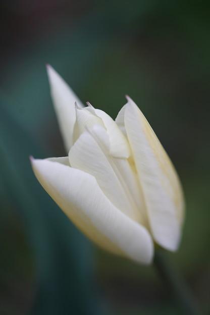 白いチューリップ