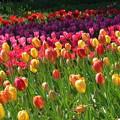 チューリップ花々