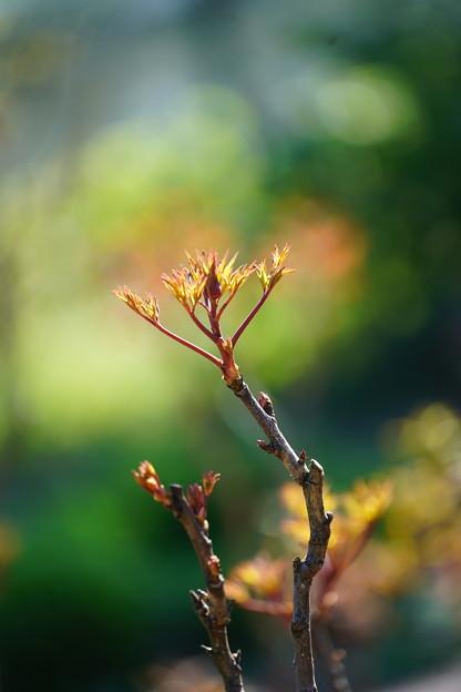 牡丹の新芽