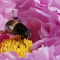 Photos: 牡丹と蜂