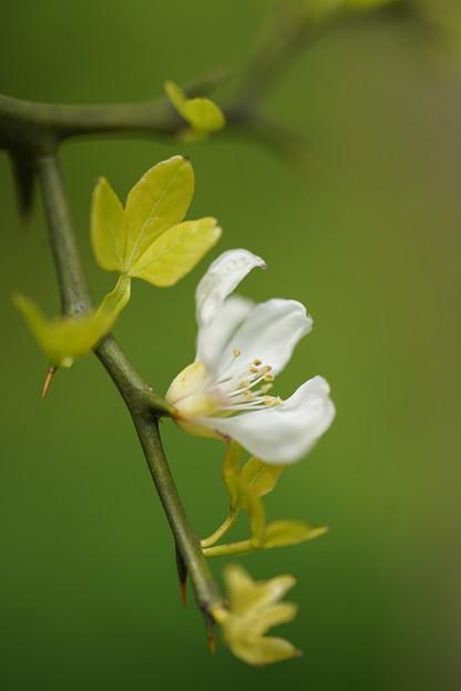 カラタチの白い花