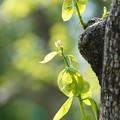 Photos: 柿の若葉