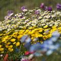 Photos: 花壇の花々
