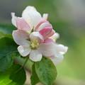 Photos: 林檎の花