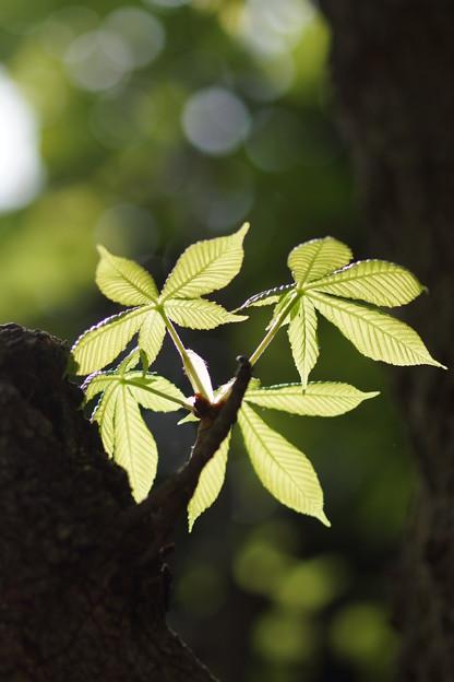 栃ノ木の若葉