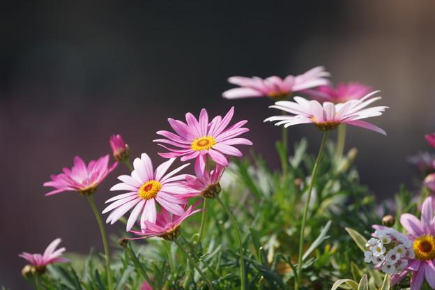 マーガレットの花々