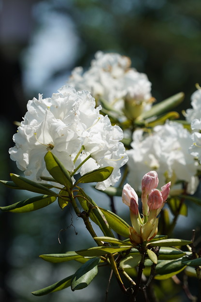 白い石楠花