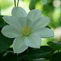 Photos: 白いクレマチス