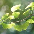 Photos: イチョウの葉