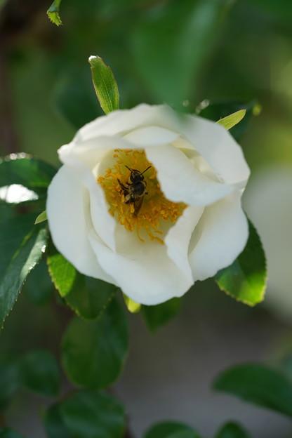 薔薇と昆虫