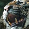 Photos: 虎