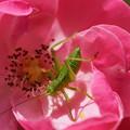 Photos: 薔薇と昆虫