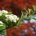 Photos: ピラカンサの花