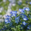 Photos: ネモフィラの花々
