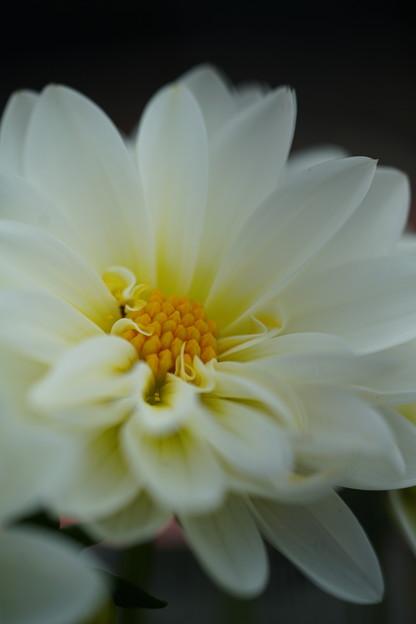Photos: 白いダリア
