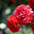 Photos: 赤い薔薇