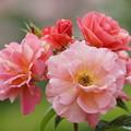 Photos: バラの花々