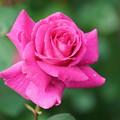 Photos: 濃いピンクの薔薇