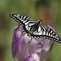 ナミアゲハチョウ