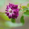 Photos: 紫玉