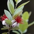 Photos: フェイジョアの花