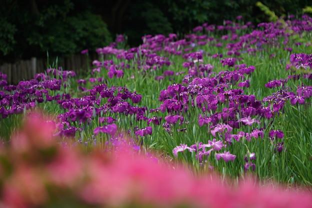 菖蒲の花々