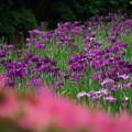 Photos: 菖蒲の花々