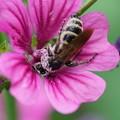 ゼニアオイと蜂