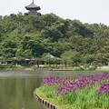 Photos: 花菖蒲と三重塔
