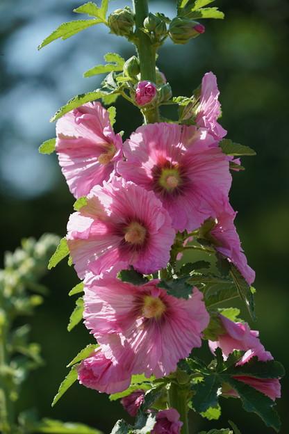 ピンクの立葵