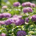 Photos: アイサイの花々