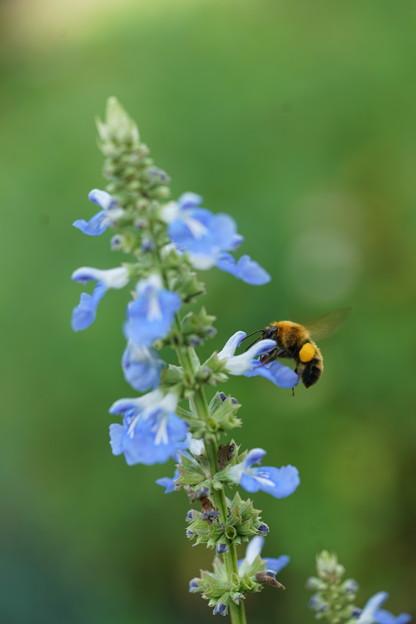 サルビアと蜂