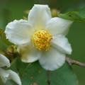 Photos: ヒメシャラの花