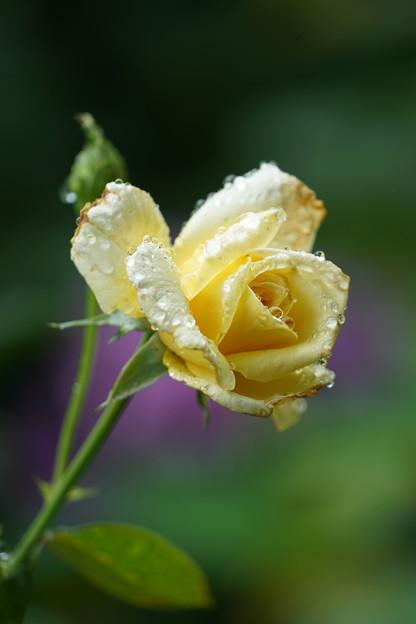 雨に陽の薔薇
