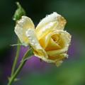Photos: 雨に陽の薔薇