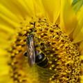 Photos: ヒマワリと蜂