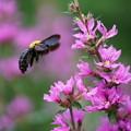 クマバチとミソハギ