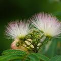 Photos: 合歓の木の花
