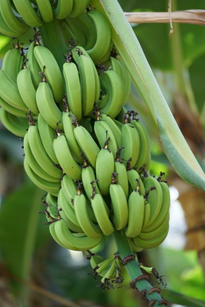 バナナ大船フラワーセンター温室