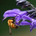 Photos: セージと蜂