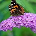 花とタテハチョウ