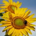 Photos: 向日葵と蜂