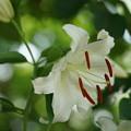Photos: 白い百合