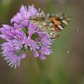 アリウムと蝶