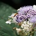 紫陽花とアブ
